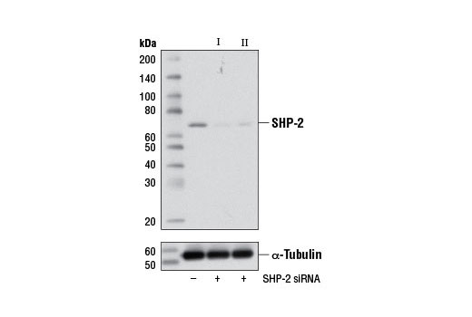 Image 1: SignalSilence® SHP-2 siRNA II