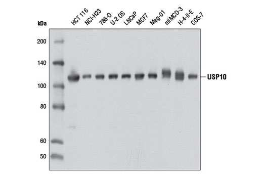 Western blot analysis of extracts from various cell lines using USP10 (D7A5) Rabbit mAb.