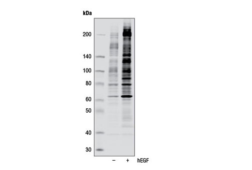 Western blot analysis of extracts from A-431 cells, untreated (-) or treated with Human Epidermal Growth Factor (hEGF) #8916 (100 ng/ml, 5 min; +), using Phospho-Tyrosine (P-Tyr-1000) MultiMab™ Rabbit mAb mix. Western blot image was obtained using the Odyssey<sup>®</sup> Infrared Imaging System (LI-COR<sup>®</sup> Biotechnology).