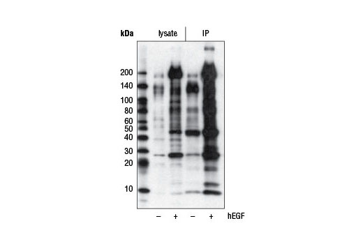 Immunoprecipitation of phospho-tyrosine proteins from A-431 cell extracts, untreated (-) or treated with Human Epidermal Growth Factor (hEGF) #8916 (100 ng/ml, 5 min; +) (lanes 3 and 4), using Phospho-Tyrosine (P-Tyr-1000) MultiMab™ Rabbit mAb mix. Western blot analysis was performed using the same antibody. Lanes 1 and 2 are 10% input.
