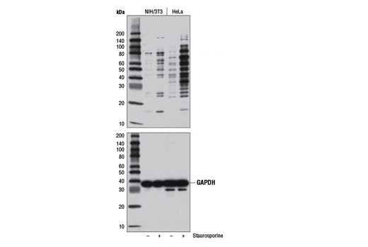 Western Blotting Image 1: Cleaved Caspase Substrate Motif [DE(T/S/A)D] MultiMab™ Rabbit mAb mix