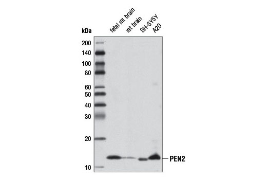 Monoclonal Antibody - PEN2 (D6G8) Rabbit mAb - Immunoprecipitation, Western Blotting, UniProt ID Q9NZ42, Entrez ID 55851 #8598