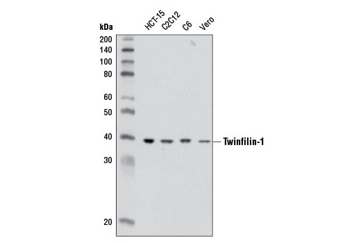 Western blot analysis of extracts from various cell lines using Twinfilin-1 Antibody.