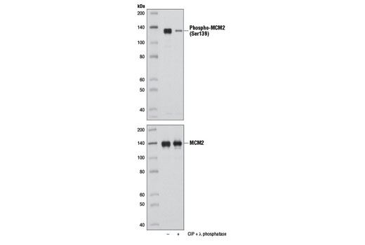 Polyclonal Antibody - Phospho-MCM2 (Ser139) Antibody - Western Blotting, UniProt ID P49736, Entrez ID 4171 #8861 - Cell Cycle / Checkpoint Control