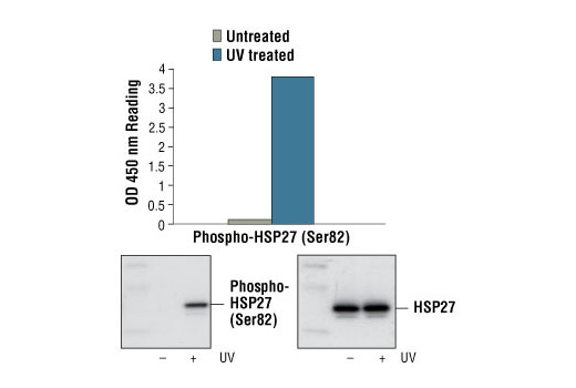 Figure 1: Treatment of HeLa cells with UV light stimulates phosphorylation of HSP27 at Ser82 detected by PathScan® Phospho-HSP27 (Ser82) Sandwich ELISA Kit #7152. The corresponding Western blots, using Phospho-HSP27 (Ser82) Antibody #2401 (left) or HSP27 (G31) Mouse mAb #2402 (right), are also shown.
