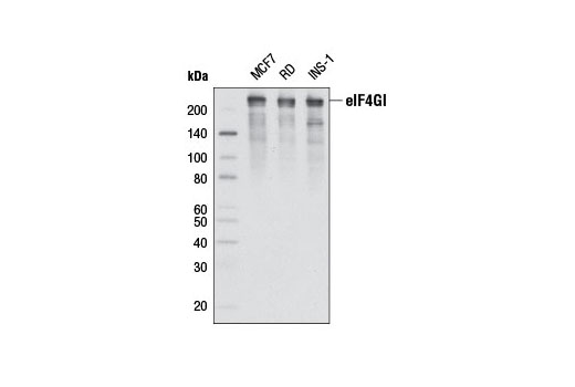 Western blot analysis of extracts from various cell lines using eIF4GI (D6A6) Rabbit mAb.