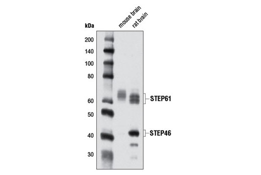 Western blot analysis of extracts from mouse and rat brain using STEP (D9H3) Rabbit mAb.