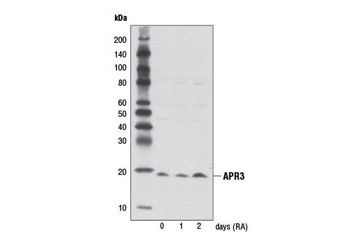 Polyclonal Antibody - APR3 Antibody - Western Blotting, UniProt ID Q6UW56, Entrez ID 51374 #8581