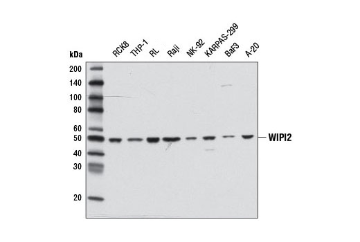Western blot analysis of extracts from various cell lines using WIPI2 Antibody.