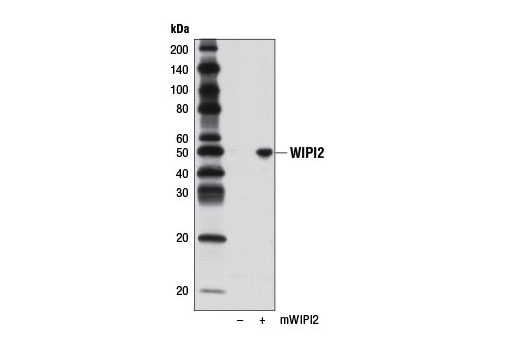 Western blot analysis of extracts from 293T cells, mock transfected (-) or transfected with a construct expressing full length mouse WIPI2 (mWIPI2; +), using WIPI2 Antibody.