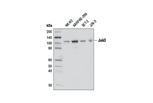 Western blot analysis of extracts from various cell lines using Jak3 (D1H3) Rabbit mAb.