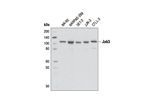 Monoclonal Antibody - Jak3 (D7B12) Rabbit mAb - Western Blotting, UniProt ID P52333, Entrez ID 3718 #8863, Antibodies to Kinases