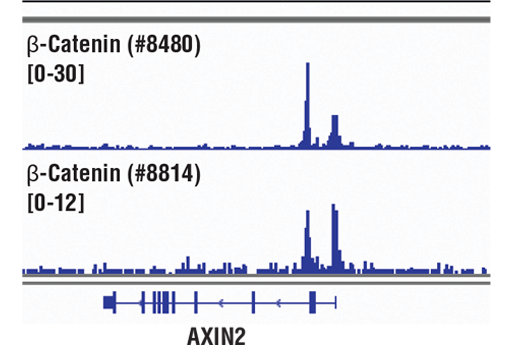 Chromatin immunoprecipitations were performed with cross-linked chromatin from HCT116 cells and either β-Catenin (D10A8) XP<sup>®</sup> Rabbit mAb or Non-phospho (Active) β-Catenin (Ser33/37/Thr41) (D13A1) Rabbit mAb #8814, using SimpleChIP<sup>®</sup> Enzymatic Chromatin IP Kit (Magnetic Beads) #9005. DNA Libraries were prepared using SimpleChIP<sup>®</sup> ChIP-seq DNA Library Prep Kit for Illumina<sup>®</sup> #56795. The figure shows binding across AXIN2, a known target gene of β-Catenin (see additional figure containing ChIP-qPCR data). For additional ChIP-seq tracks, please download the product data sheet.
