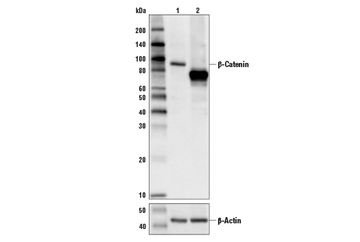 Western Blotting Image 1: β-Catenin (D10A8) XP® Rabbit mAb