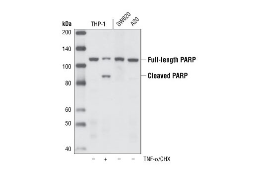 Western blot analysis of extracts from THP-1 cells, untreated or treated with TNF-α and cycloheximide as well as control extracts from SW620 and A20 cell lines, using PARP (46D11) Rabbit mAb.