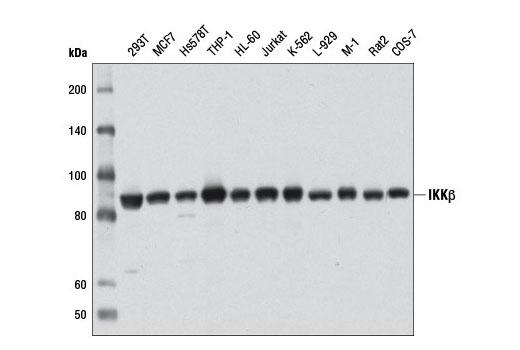 Monoclonal Antibody - IKKβ (D30C6) Rabbit mAb - Immunoprecipitation, Western Blotting, UniProt ID O14920, Entrez ID 3551 #8943