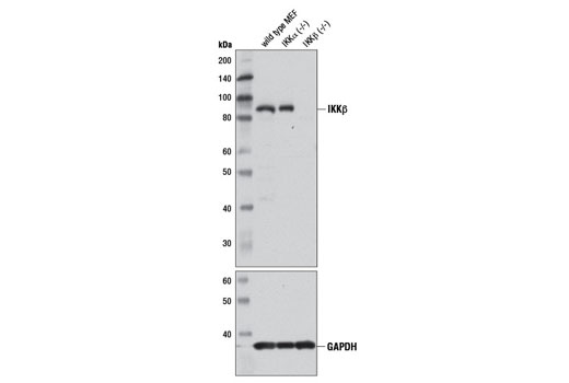 Western blot analysis of extracts from wild-type, IKKα (-/-), and IKKβ (-/-) mouse embryonic fibroblasts (MEFs) using IKKβ (D30C6) Rabbit mAb (upper) and GAPDH (14C10) Rabbit mAb #2118 (lower).