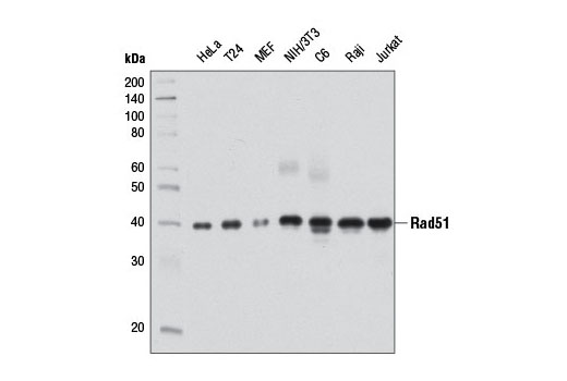 Western blot analysis of extracts from various cell lines using Rad51 (D4B10) Rabbit mAb.