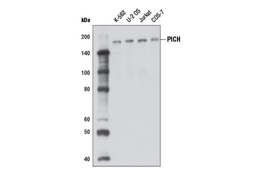 Western blot analysis of extracts from various cell lines using PICH (D4G8) Rabbit mAb.