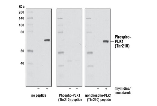 Western blot analysis of extracts from HeLa cells, asynchronous or synchronized in mitosis, using Phospho-PLK1 (Thr210) (D5H7) Rabbit mAb. The antibody was pre-incubated with a PLK1 phospho-Thr210 peptide or nonphospho-peptide as indicated. Mitotic synchronization was performed by thymidine block followed by release into nocodazole and mitotic shake-off.