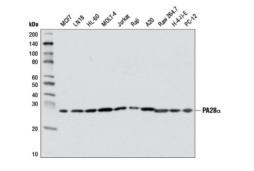 Monoclonal Antibody - PA28α (D4F12) Rabbit mAb - Western Blotting, UniProt ID Q06323, Entrez ID 5720 #8657 - Ubiquitin and Ubiquitin-Like Proteins