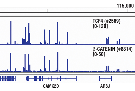 Chromatin immunoprecipitations were performed with cross-linked chromatin from HCT116 cells and either TCF4 (C48H11) Rabbit mAb #2569 or Non-phospho (Active) β-Catenin (Ser33/37/Thr41) (D13A1) Rabbit mAb, using SimpleChIP<sup>®</sup> Enzymatic Chromatin IP Kit (Magnetic Beads) #9003. DNA Libraries were prepared using SimpleChIP<sup>®</sup> ChIP-seq DNA Library Prep Kit for Illumina<sup>®</sup> #56795. TCF4 and β-Catenin are known to associate with each other on chromatin. The figure shows binding of both TCF4 and β-Catenin across CAMK2D, a known target gene of both TCF4 and β-Catenin (see additional figure containing ChIP-qPCR data). For additional ChIP-seq tracks, please download the product data sheet.