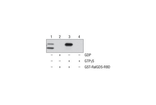 Figure 1. NIH/3T3 cell lysates (500 µl at 1 mg/ml) were treated <i>in vitro</i> with GTPγS or GDP to activate or inactivate Rap1 (refer to optional step C in protocol). The lysates were then incubated with glutathione resin and GST-RalGDS-RBD (lanes 2 and 3). GTPγS-treated lysate was also incubated without GST-RalGDS-RBD in the presence of glutathione resin as a negative control (lane 4). Western blot analysis of cell lysate (20 µg, lane 1) or 20 µl of the eluted samples (lanes 2, 3, and 4) was performed using a Rap1 Rabbit Antibody. Anti-rabbit IgG, HRP-linked Antibody #7074 was used as the secondary antibody. Detection was performed using 1X LumiGLO<sup>®</sup> reagent and peroxide (20X LumiGLO<sup>®</sup> Reagent and 20X Peroxide #7003), followed by exposure to x-ray film.