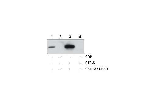 Figure 1. NIH/3T3 cell lysates (500 µl at 1 mg/ml) were treated <i>in vitro</i> with GTPγS or GDP to activate or inactivate Cdc42 (refer to optional step C in protocol). The lysates were then incubated with glutathione resin and GST-PAK1-PBD (lanes 2 and 3). GTPγS-treated lysate was also incubated without GST-PAK1-PBD in the presence of glutathione resin as a negative control (lane 4). Western blot analysis of cell lysate (20 µg, lane 1) or 20 µl of the eluted samples (lanes 2, 3, and 4) was performed using a Cdc42 Mouse mAb. Anti-mouse IgG, HRP-linked Antibody #7076 was used as the secondary antibody.