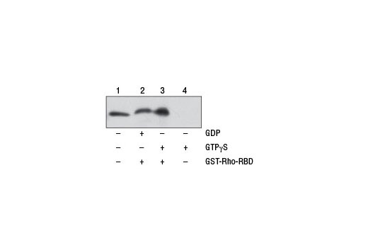 Figure 1. NIH/3T3 cell lysates (500 µl at 1 mg/ml) were treated <i>in vitro</i> with GTPγS or GDP to activate or inactivate Rho (refer to optional step C in protocol). The lysates were then incubated with glutathione resin and GST-Rhotekin-RBD (lanes 2 and 3). GTPγS-treated lysate was also incubated without GST-Rhotekin-RBD in the presence of glutathione resin as a negative control (lane 4). Western blot analysis of cell lysate (20 µg, lane 1) or 20 µl of the eluted samples (lanes 2, 3, and 4) was performed using a Rho Rabbit Antibody. Anti-rabbit IgG, HRP-linked Antibody #7074 was used as the secondary antibody.