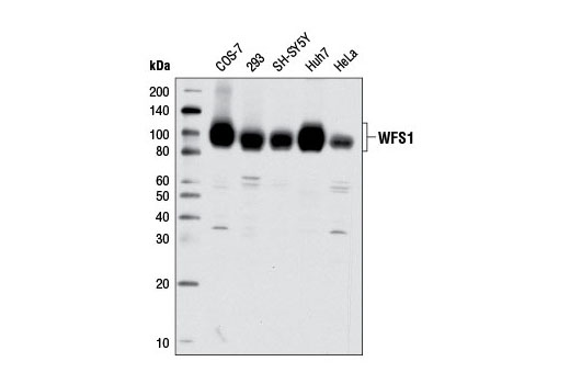 Western blot analysis of extracts from various cell lines using WFS1 Antibody.