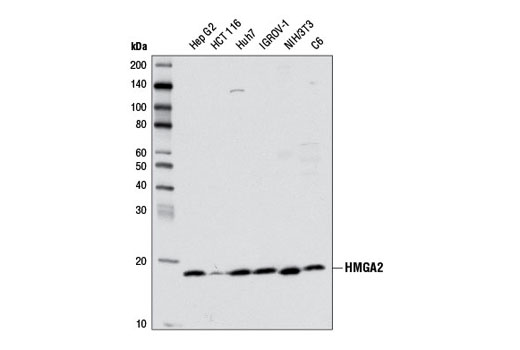Western blot analysis of extracts from various cell lines using HMGA2 (D1A7) Rabbit mAb.