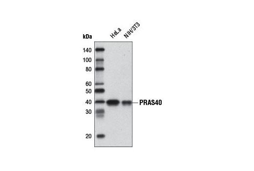 Monoclonal Antibody - PRAS40 (D23C7) XP® Rabbit mAb (Biotinylated), UniProt ID Q96B36, Entrez ID 84335 #8858, Pi3k / Akt Signaling