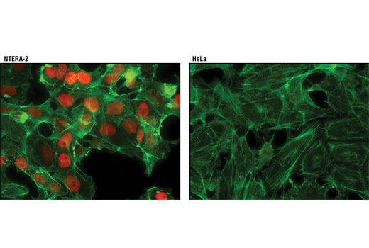 Immunofluorescent analysis of NTERA-2 (left) and HeLa (right) cells using Nanog (D73G4) XP<sup>®</sup> Rabbit mAb (Alexa Fluor<sup>®</sup> 594 Conjugate) (red). Actin filaments were labeled with Alexa Fluor<sup>®</sup> 488 phalloidin (green).