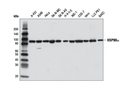 Western blot analysis of extracts from various cell lines using HSP90α (D1A7) Rabbit mAb.