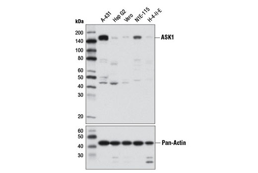 Western blot analysis of extracts from various cell lines using ASK1 (D11C9) Rabbit mAb (upper) or Pan-Actin (D18C11) Rabbit mAb #8456 (lower).