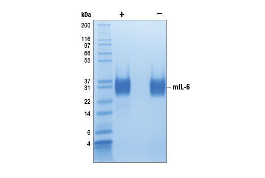 The purity of recombinant mIL-6 was determined by SDS-PAGE of 6 µg reduced (+) and non-reduced (-) recombinant mIL-6 and staining overnight with Coomassie Blue.