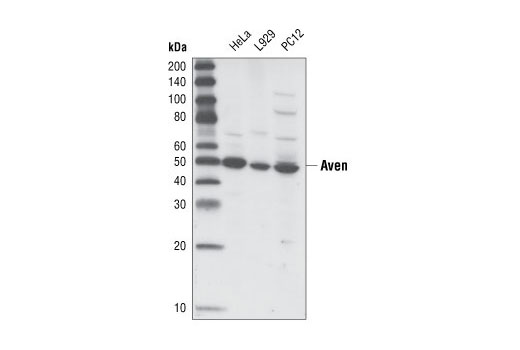 Polyclonal Antibody Immunofluorescence Immunocytochemistry Regulation of Apoptosis