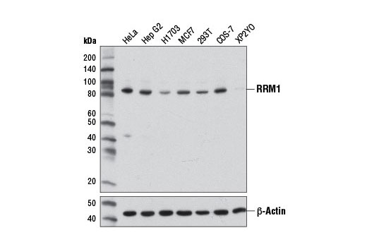 Western blot analysis of extracts from various cell lines using RRM1 (D12F12) XP<sup>®</sup> Rabbit mAb (upper) and β-Actin Antibody #4967 (lower).