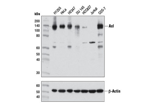 Western blot analysis of extracts from various cell lines using Axl (C89E7) Rabbit mAb (upper) and β-Actin (D6A8) Rabbit mAb #8457 (lower).