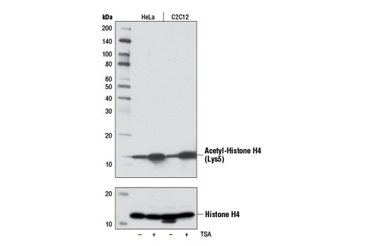 Western blot analysis of extracts from HeLa and C2C12 cells, untreated (-) or treated with Trichostatin A (TSA) #9950 (1 μM, 18 hr; +), using Acetyl-Histone H4 (Lys5) (D12B3) Rabbit mAb (upper) or Histone H4 (L64C1) Mouse mAb #2935 (lower).
