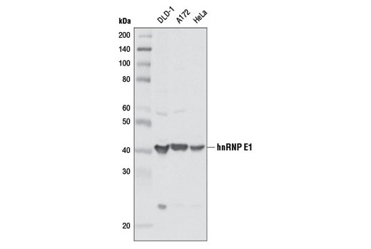 Western blot analysis of extracts from various cell lines using hnRNP E1 Antibody.