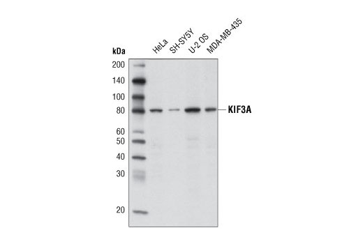 Western blot analysis of extracts from various cell lines using KIF3A (D7G3) Rabbit mAb.