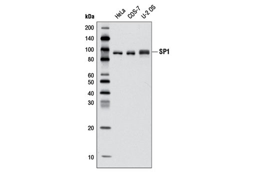 Western blot analysis of extracts from various cell lines using SP1 (D4C3) Rabbit mAb.