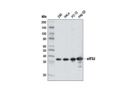 Western blot analysis of extracts from various cell lines using eIF3J (D21G7) XP<sup>®</sup> Rabbit mAb.