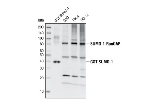 Western blot analysis of recombinant GST-SUMO-1 protein (38 kDa) and extracts from CAD, HeLa and PC-12 cells, using SUMO-1 Antibody.