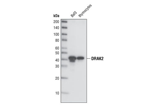 Western blot analysis of total cell lysates from BaF3 and mouse thymocytes, using DRAK2 (33D7) Rabbit mAb.