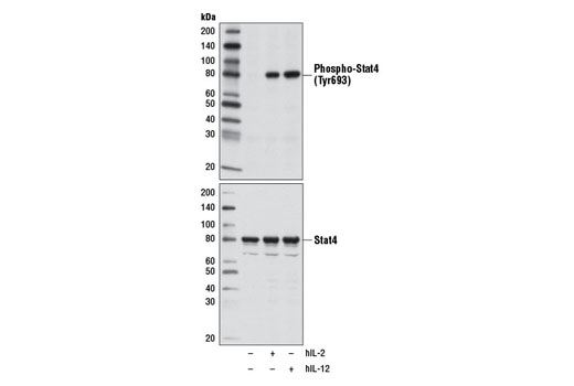 Western blot analysis of extracts from NK-92 cells, untreated (-) or treated (+) with Human Interleukin-2 (hIL-2) #8907 (10 ng/ml, 15 min) or human interleukin-12 (hIL-12, 50 ng/ml, 15 min), using Phospho-Stat4 (Tyr693) (D2E4) Rabbit mAb (upper) and Stat4 (C46B10) Rabbit mAb #2653 (lower).