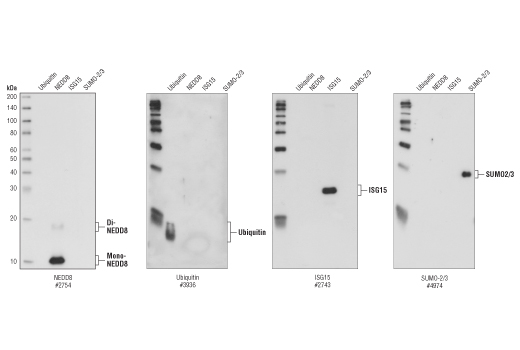 Western blot analysis of ubiquitin, NEDD8, ISG15 and SUMO-2/3 recombinant proteins (5 ng each), using NEDD8 (19E3) Rabbit mAb, Ubiquitin (P4D1) Mouse mAb #3936, ISG15 Antibody #2743 and SUMO-2/3 Antibody #4974.