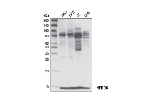 Western blot analysis of lysates from HeLa, RAW, C6 and COS cells, using NEDD8 (19E3) Rabbit mAb.