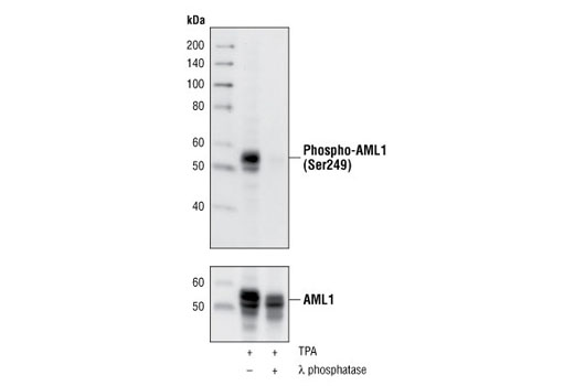 Western blot analysis of extracts of TPA treated HEL cells, untreated or treated with λ phosphatase, using Phospho-AML1 (Ser249) Antibody (upper), or AML1 Antibody #4334 (lower).